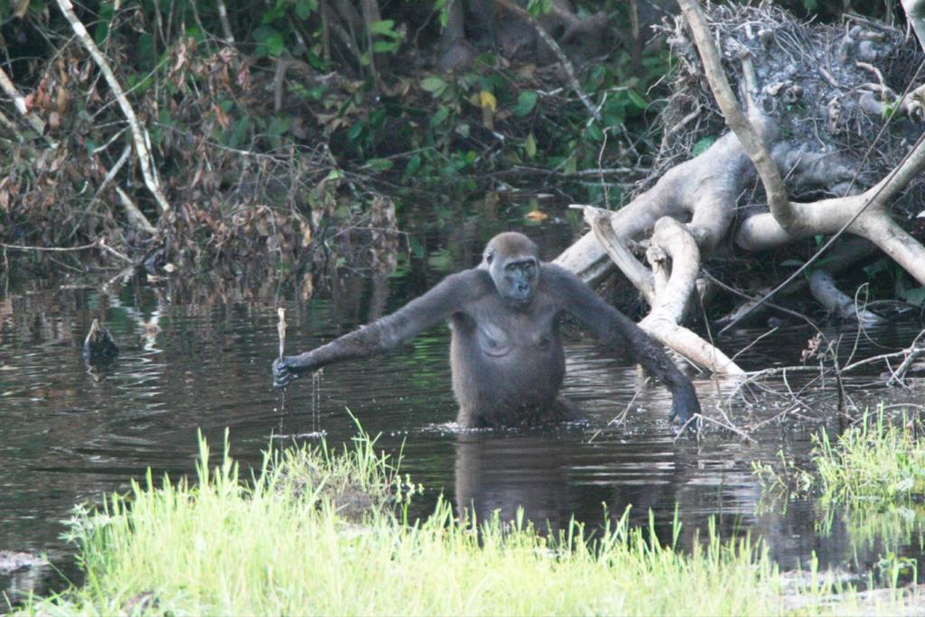 Teoria della scimmia acquatica: andatura bipede