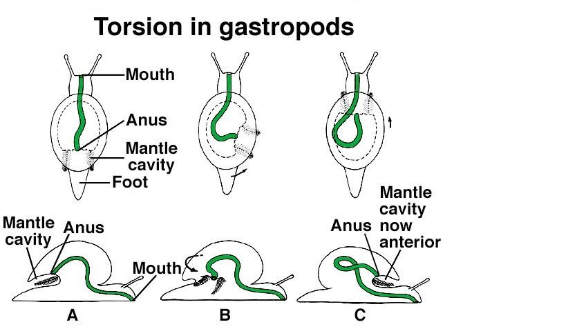 gasteropodi: schema torsione del corpo