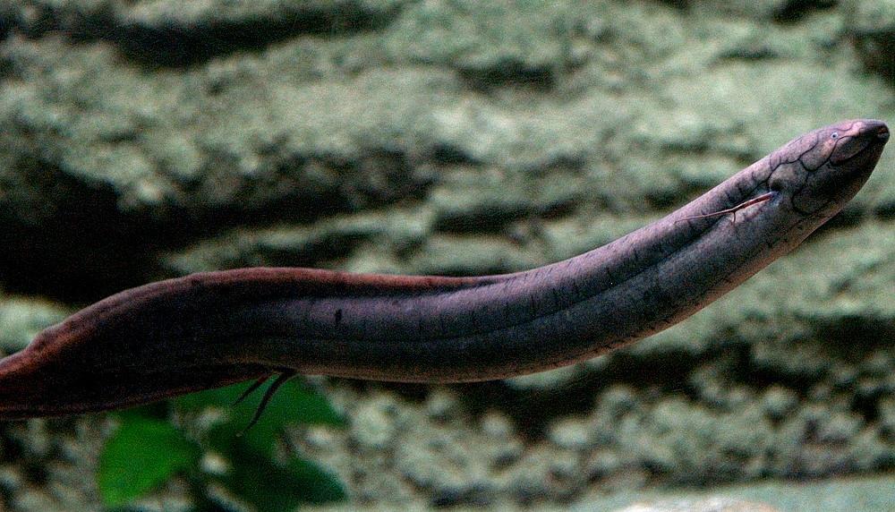 pesci polmonati