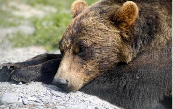 l'orso, il più iconico degli animali che vanno in letargo