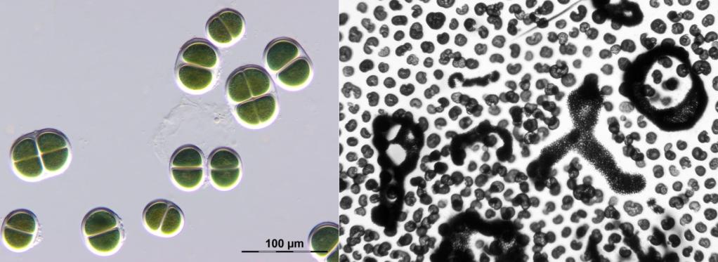 Cianobatteri dell'ordine chrococcales