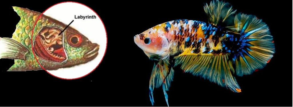 pesci polmonati labirintidi
