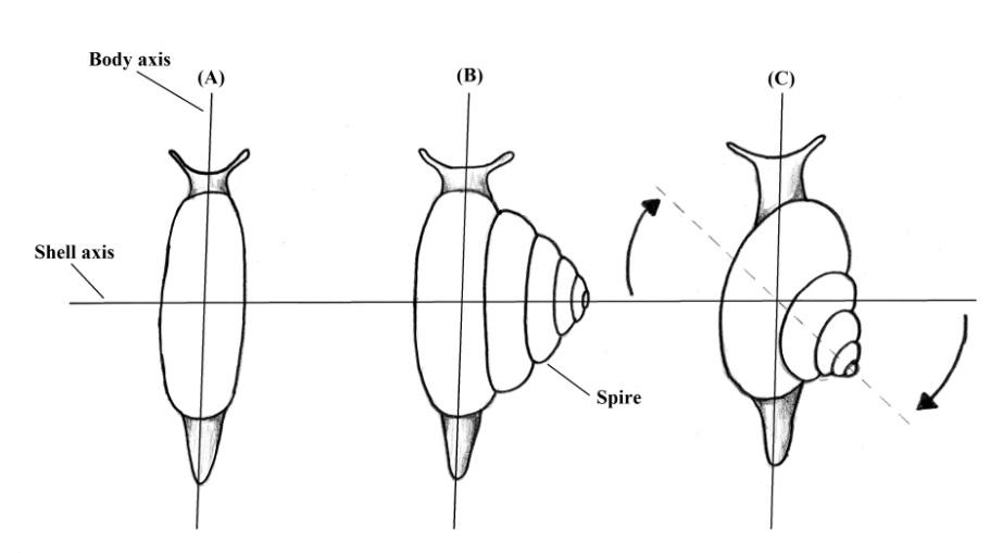 Gasteropodi: Evoluzione della conchiglia