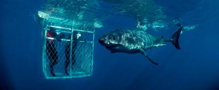 Immersione gabbia squali bianchi