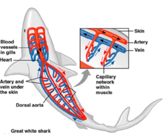 squalo bianco:rete mirabilis