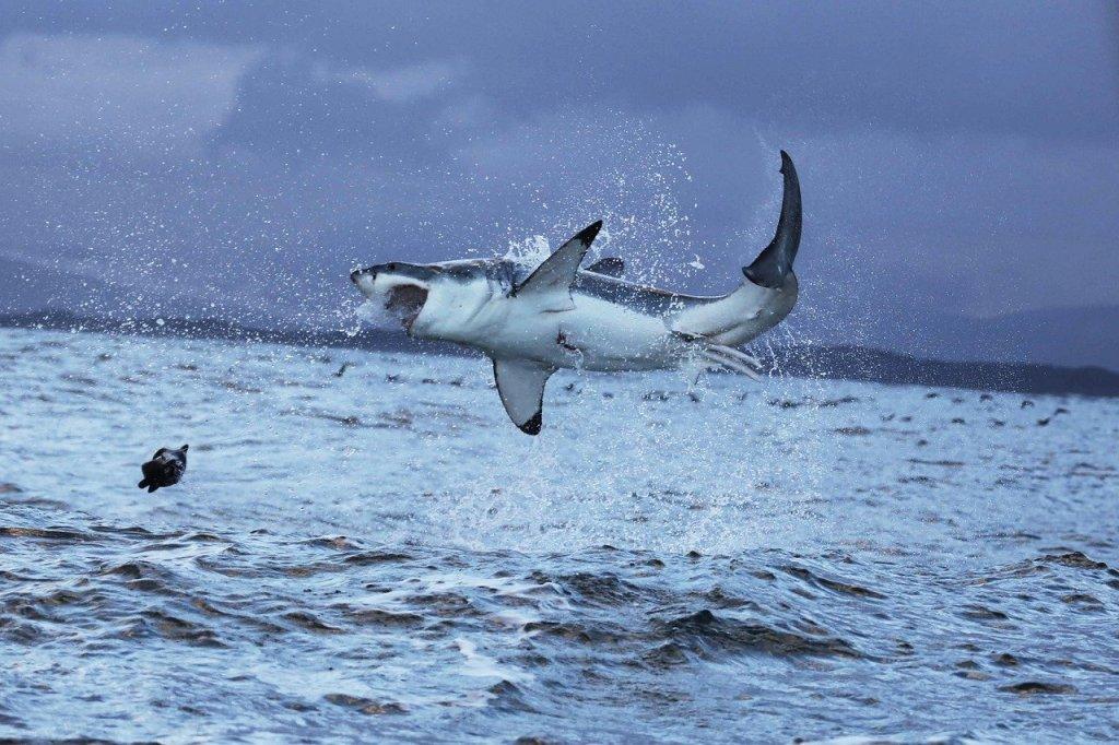 squalo bianco in caccia
