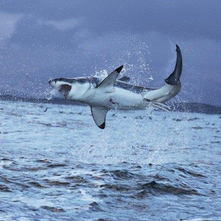 squalo bianco caccia