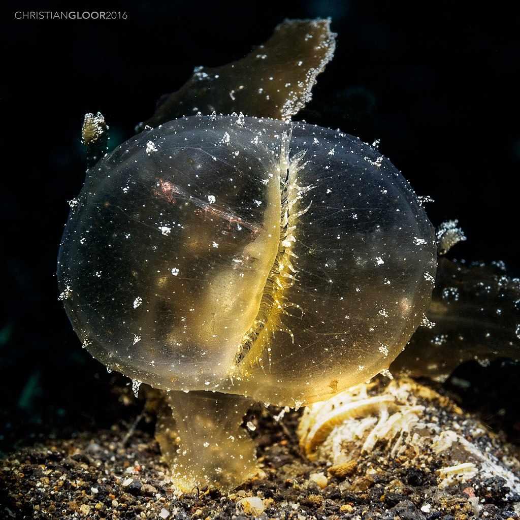 melibe viridis, gasteropode alieno
