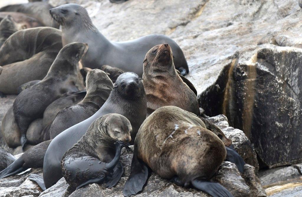 Squali bianchi e leoni marini a seal island